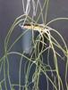Rhipsalis sp. Neuendorf 285 (GBG87328) (Ecuador) リプサリス sp.
