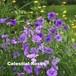 ビスカリア (シレネ)  Viscaria oculata (Silene coeil-rosa)