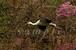 コウノトリ写真(ダウンロード)「春の羽ばたき」