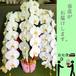 送料無料 胡蝶蘭 白 3本立ち お花屋さんがお届け 配送地域限定 自社便 税込み3万円