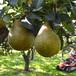 ゼネラル・レクラーク 3kg(6玉入)  - とろける食感、上品な甘さとほどよい酸味が特徴の洋梨 お歳暮にもおすすめ