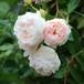 バラ裸苗 【ご予約商品】 シャンタル・トーマス