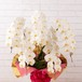 胡蝶蘭 白花 5本立 大阪市内無料配送エリアあり 祝い花