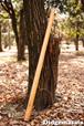 DM011 ディジュリドゥ(木の種類:ブラックチェリーのディジュリドゥ / C# )