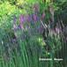 リナリア プルプレア(宿根リナリア) Linarira purpurea