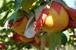 新潟県 梨作り名人の新高 5kg(6~8玉)<産地直送><出荷開始!><10/19までの販売>