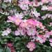 バラ大苗 桜木(さくらぎ) 6Lポット植え