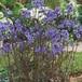 ポレモニウム パープルレイン  ( 黒葉エゾハナシノブ ) Polemonium yezoense 'Purple Rain'