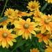 ルドベキア プレーリーサン Rudbeckia hirta 'Prairie Sun'