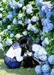 ポストカード『紫陽花の咲く季節』
