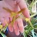 白花ホウサイラン10.5cmポット苗