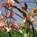 花芽付きメグリー再香10.5cmポット