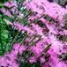 カワラナデシコ ミーティア Dianthus superbus