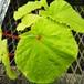 山のベゴニア・シュウカイドウ10.5cmポット苗