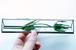 植物標本:ドライフラワー『エリンジウム』