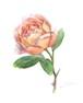 11月15日バラ(うすオレンジ)(フレーム付)