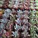 多肉植物苗11品種セット