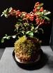 ピラカンサ 苔玉 Kokedama Moss ball 盆栽タイプ bonsai type 有田焼皿セット