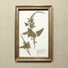 植物標本 ドイツアンティーク1908 17APR-ASHF16