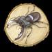 【原画】輪切り絵アート:ミヤマクワガタ レッドアイ (Lucanus maculifemoratus) Ver1.4
