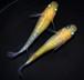 黄桜 若魚(2020年産まれ) オス1 メス1 (現物出品) ikahoff F-1020-5394-a