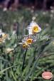 いつもの公園で咲く水仙~Daffodils that bloom in the usual park~④