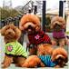 犬服(ドッグウェア) イギリス国旗ワッペン付きボーダー柄ブリティッシュTシャツ グリーン&イエローとローズ&グレーの2色