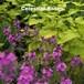 エリシマム・リニフォリウム  ボールズ モーブ Erysimum linifolium 'Bowles Mauve'