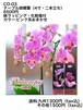 CO-03 テーブル胡蝶蘭(4寸2本立ち)