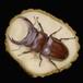 【原画】輪切り絵アート:赤いオオクワガタ (Stag beetle)