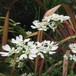 オルレイヤ グランディフローラ Orlaya grandiflora