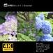 紫陽花セット1(紫陽花8・12・15)