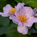 ライラックチャーム Lilac Charm