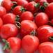 トマトベリー(ミニトマト)【北海道産】 1キロ