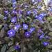 ベロニカ オックスフォードブルー(ジョージアブルー) Veronica peduncularis 'Oxford Blue'('Georgia Blue')