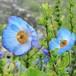 aoikeshi青いケシの香り(M)soywax100%の木芯キャンドル【ソイワックスキャンドル ソイキャンドル アロマキャンドル】