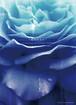 LIVE DVD&CD「ROSES」(MERZ-0153)