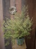 Westringia fruticosa ウェストリンギア