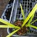 斑入り秋蘭10.5cmポット苗