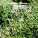 産直ハーブ苗 コモンタイム Thymus vulgaris