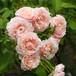 バラ裸苗【ご予約商品】 ルイーズ・ドゥ・マリヤック