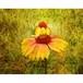 沖縄に咲く花・19・エキナセア A4