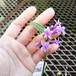 ツルバキア・フレグランス10.5cmポット苗