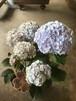 八重のアジサイ「花宝」5寸鉢