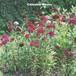 四季咲きアメリカナデシコ(美女ナデシコ) Dianthus barbatus
