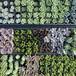 多肉植物カット苗11芽セット