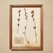 植物標本 フレーム 1929 vintage 18MAR-VSH06