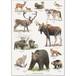 アート ポスター A4 サイズ KOUSTRUP & CO. - Wild animals of the North 北欧の野生動物