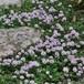 タイム ロンギカウリス Thymus longicaulis