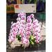 胡蝶蘭(紫の斑入り)